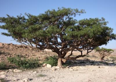 Йеменский Ладан (очищенный)