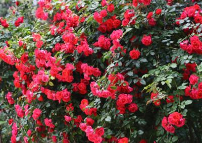 Персидская Роза чистая
